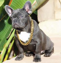 Bossy French Bulldogs Murrieta Ca 92562